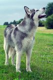 The dog breed an alaskan malamute. In the small birch wood, looks afar, fluffy gray and white wool,  the blue sky is visible through trees, wet Royalty Free Stock Photo