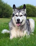 The dog breed an alaskan malamute full-length portrait. The dog breed an alaskan malamute lies on a field on a green grass in the summer, processed by a preset Stock Image