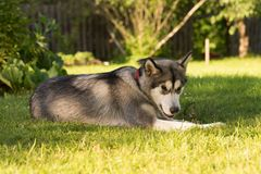 Dog breed alaskan malamute in a garden. Shallow depth of field. Selective focus Stock Images