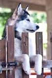 Dog breed alaskan malamute Royalty Free Stock Photo