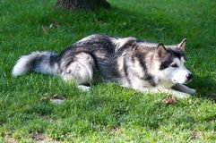Dog breed alaskan malamute. Alaskan malamute lying on the ground Royalty Free Stock Images