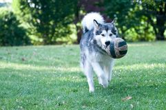 Dog breed alaskan malamute Royalty Free Stock Image