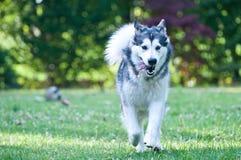 Dog breed alaskan malamute Stock Photo