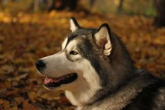 Dog breed Alaskan Malamute similar to the wolf. In the autumn forest on the background of orange-yellow foliage royalty free stock photography