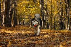 Dog breed Alaskan Malamute similar to the wolf. In the autumn forest on the background of orange-yellow foliage stock photo