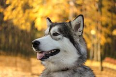 Dog breed Alaskan Malamute similar to the wolf. In the autumn forest on the background of orange-yellow foliage royalty free stock images