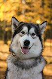 Dog breed Alaskan Malamute similar to the wolf. In the autumn forest on the background of orange-yellow foliage stock images