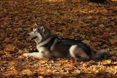 Dog breed Alaskan Malamute similar to the wolf. In the autumn forest on the background of orange-yellow foliage stock photos