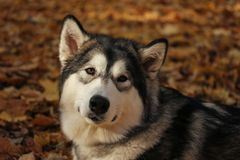 Dog breed Alaskan Malamute similar to the wolf. In the autumn forest on the background of orange-yellow foliage royalty free stock photos