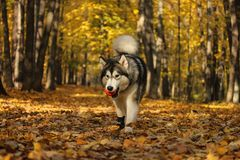 Dog breed Alaskan Malamute similar to the wolf. In the autumn forest on the background of orange-yellow foliage royalty free stock photo