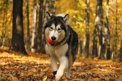 Dog breed Alaskan Malamute similar to the wolf. In the autumn forest on the background of orange-yellow foliage stock photography