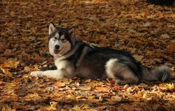 Dog breed Alaskan Malamute similar to the wolf. In the autumn forest on the background of orange-yellow foliage stock image