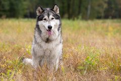 Dog breed Alaskan Malamute. Sitting on autumn meadow stock images