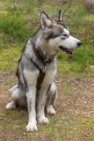 Dog breed alaskan malamute on the walking in a forest.  Royalty Free Stock Photo