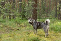 Dog breed alaskan malamute on the walking in a forest.  Stock Photo