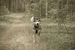 Dog breed alaskan malamute on the walking in a forest. Toned Stock Photos
