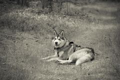 Dog breed alaskan malamute on the walking in a forest. Toned.  Royalty Free Stock Photos