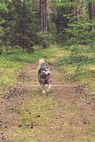 Dog breed alaskan malamute on the walking in a forest. Toned.  Royalty Free Stock Photography