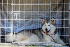 Dog breed Alaskan Malamute. Young dog Alaskan Malamute in a cage Stock Photo