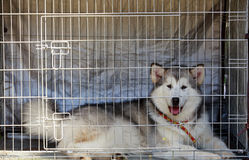 Dog breed Alaskan Malamute. Young dog Alaskan Malamute in a cage Royalty Free Stock Photos