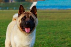 Dog breed American Akita. Stand on green grass and shows tongue royalty free stock image