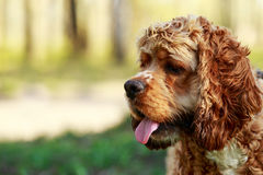 Dog breed American Cocker Spaniel. On a green grass stock photo