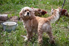 Dog breed American Cocker Spaniel standing on green grass stock images