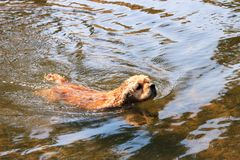 Dog of breed American Cocker Spaniel swimming in river royalty free stock image