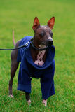 Dog breed American Hairless Terrier Stock Photo
