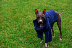 Dog breed American Hairless Terrier Royalty Free Stock Images