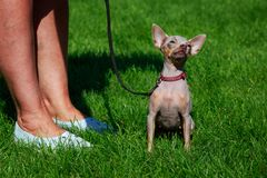 Dog breed American Hairless Terrier stock photos