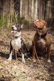 Dog breed American Pit Bull Terrier and Bull Terrier Stock Photos
