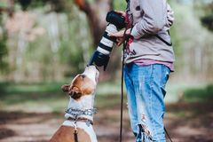 A dog breed American Staffordshire Terrier communicates with a photographer and sniffs the camera lens. Royalty Free Stock Photos