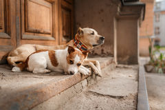 Dog breed American Staffordshire Terrier and Jack Russell Terrier Stock Image