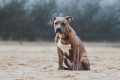 Dog breed American Staffordshire Terrier sits and looks into the distance