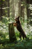 Dog breed Australian Kelpie in the woods. pet on nature. stock photos