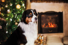 Dog breed Australian Shepherd, Aussie, Christmas and New Year Stock Images