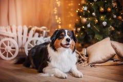 Dog breed Australian Shepherd, Aussie, Christmas and New Year Stock Image