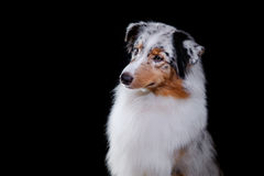 Dog breed Australian Shepherd, Aussie,. Pet in the room, studio portrait dog on a color background royalty free stock photography