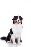 Dog breed Australian Shepherd, Aussie Stock Image