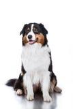 Dog breed Australian Shepherd, Aussie Royalty Free Stock Photos