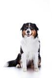 Dog breed Australian Shepherd, Aussie Stock Photo