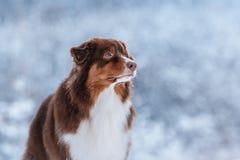 Dog breed Australian Shepherd, Aussie, Stock Images