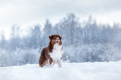 Dog breed Australian Shepherd, Aussie, Royalty Free Stock Images