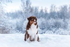 Dog breed Australian Shepherd, Aussie, Stock Image