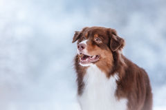 Dog breed Australian Shepherd, Aussie, Royalty Free Stock Photos