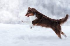 Dog breed Australian Shepherd, Aussie, Royalty Free Stock Photography