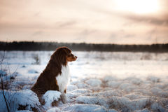 Dog breed Australian Shepherd outdoors in the winter, snow, Stock Photography