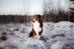 Dog breed Australian Shepherd outdoors in the winter, snow, Stock Image