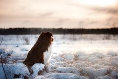 Dog breed Australian Shepherd outdoors in the winter, snow, Stock Photo
